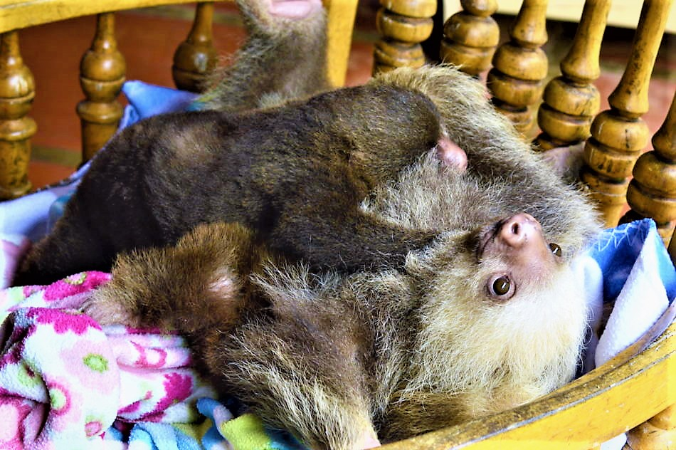 Baby sloths costa rica hugging