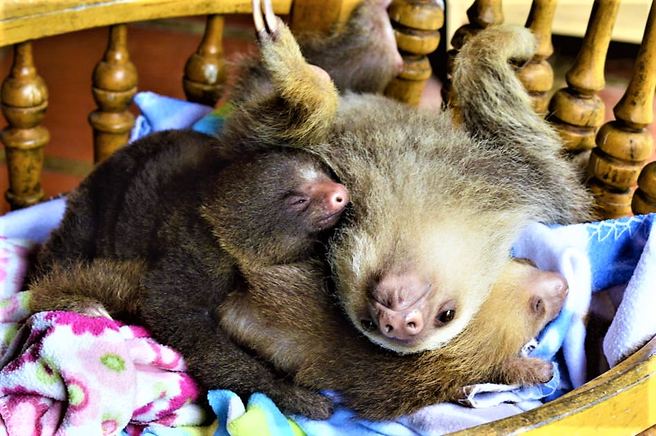 Baby sloths costa rica