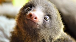 Breakfast with baby sloths, costa rica, toucan rescue ranch