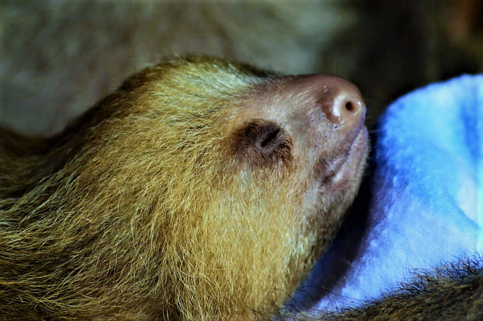 Toffee the baby sloth, costa rica