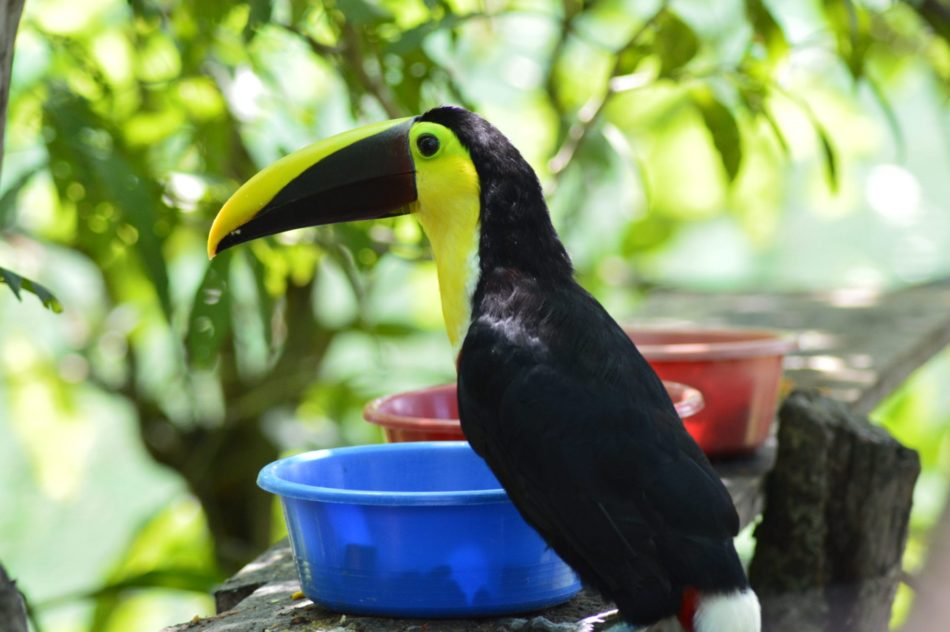 Toucan in costa rica, where to see toucans in costa rica