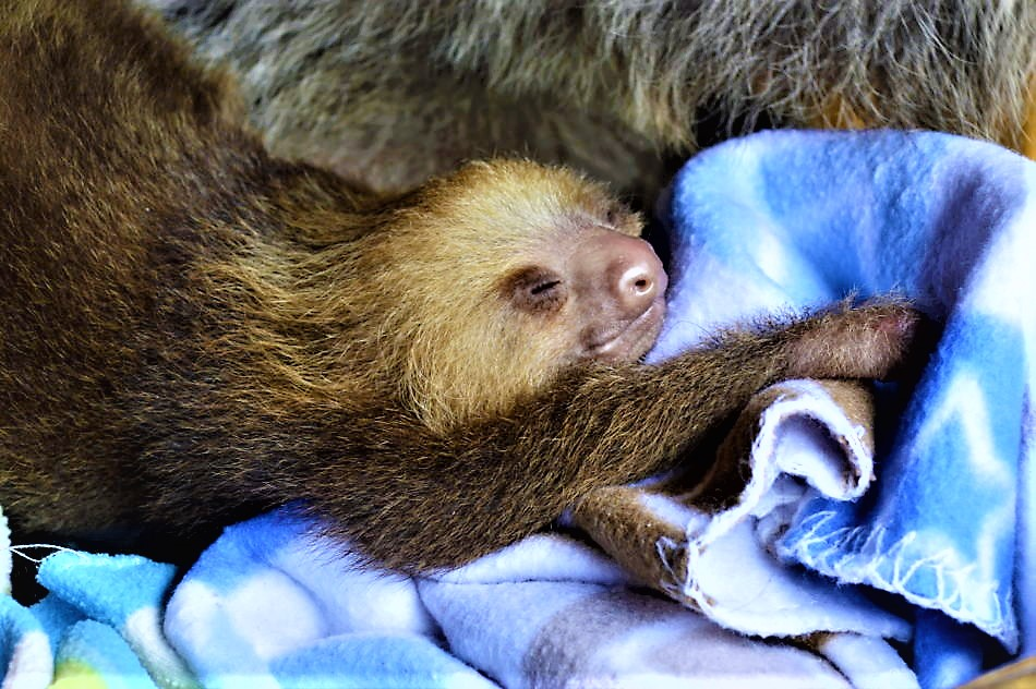 baby sloth costa rica