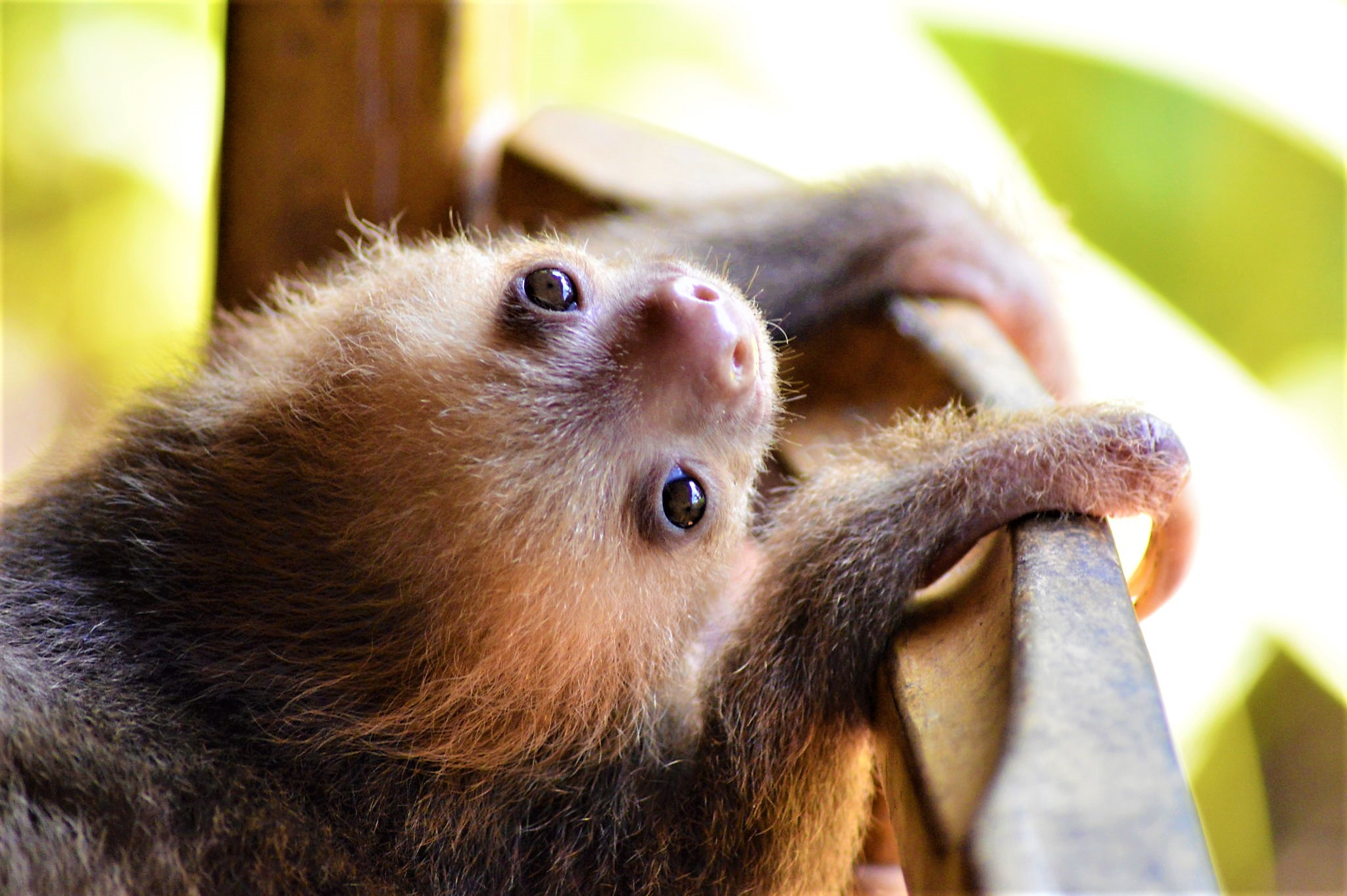 baby sloth on chair, Costa rica