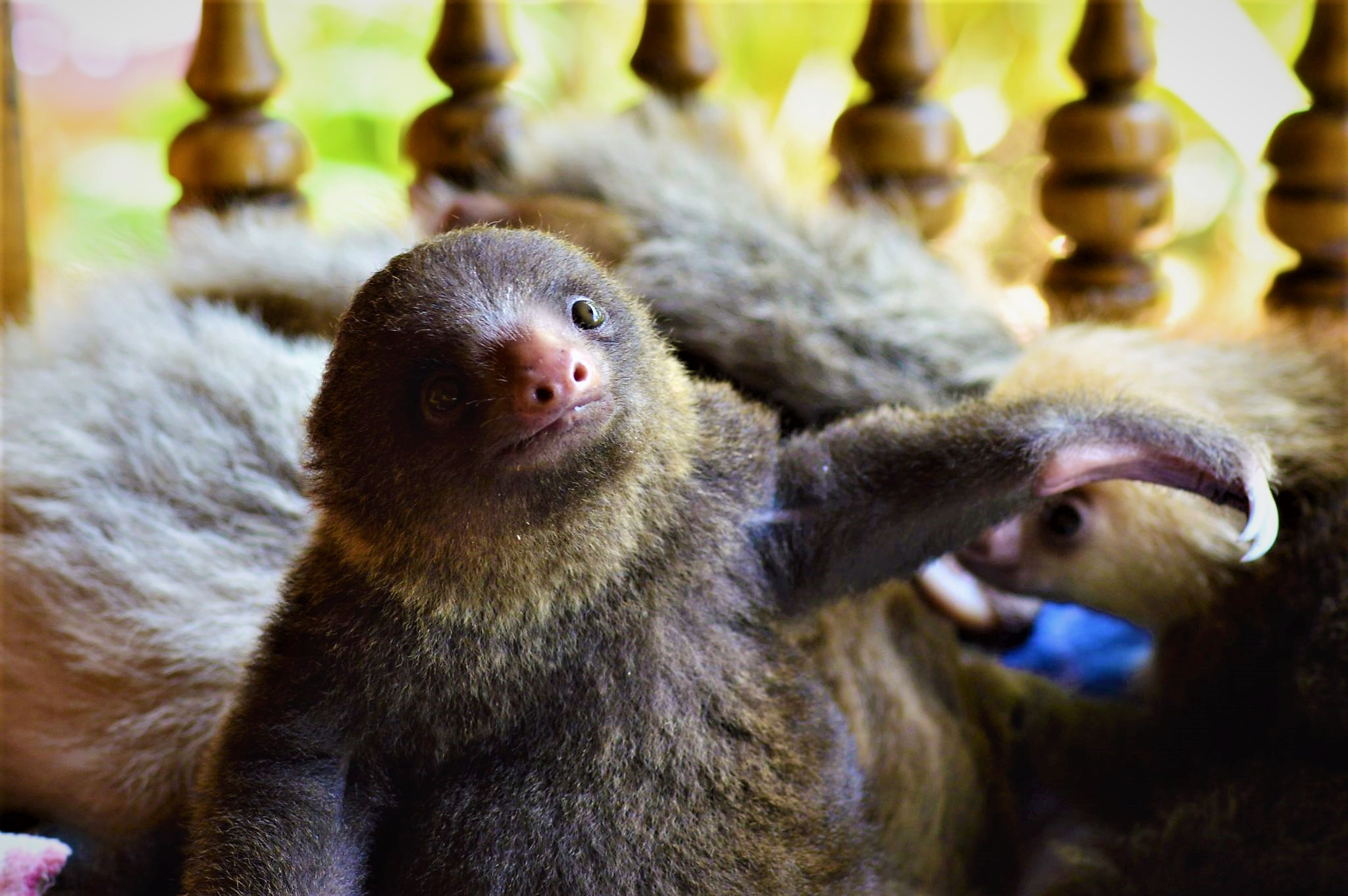 baby sloth, toucan rescue ranch, costa rica