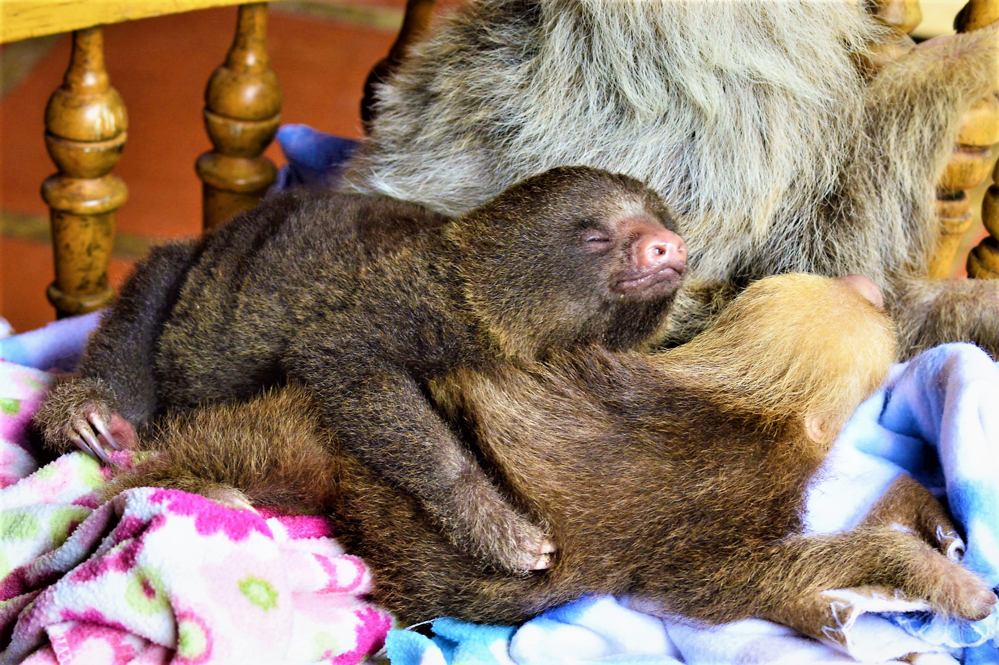 baby sloths hugging costa rica