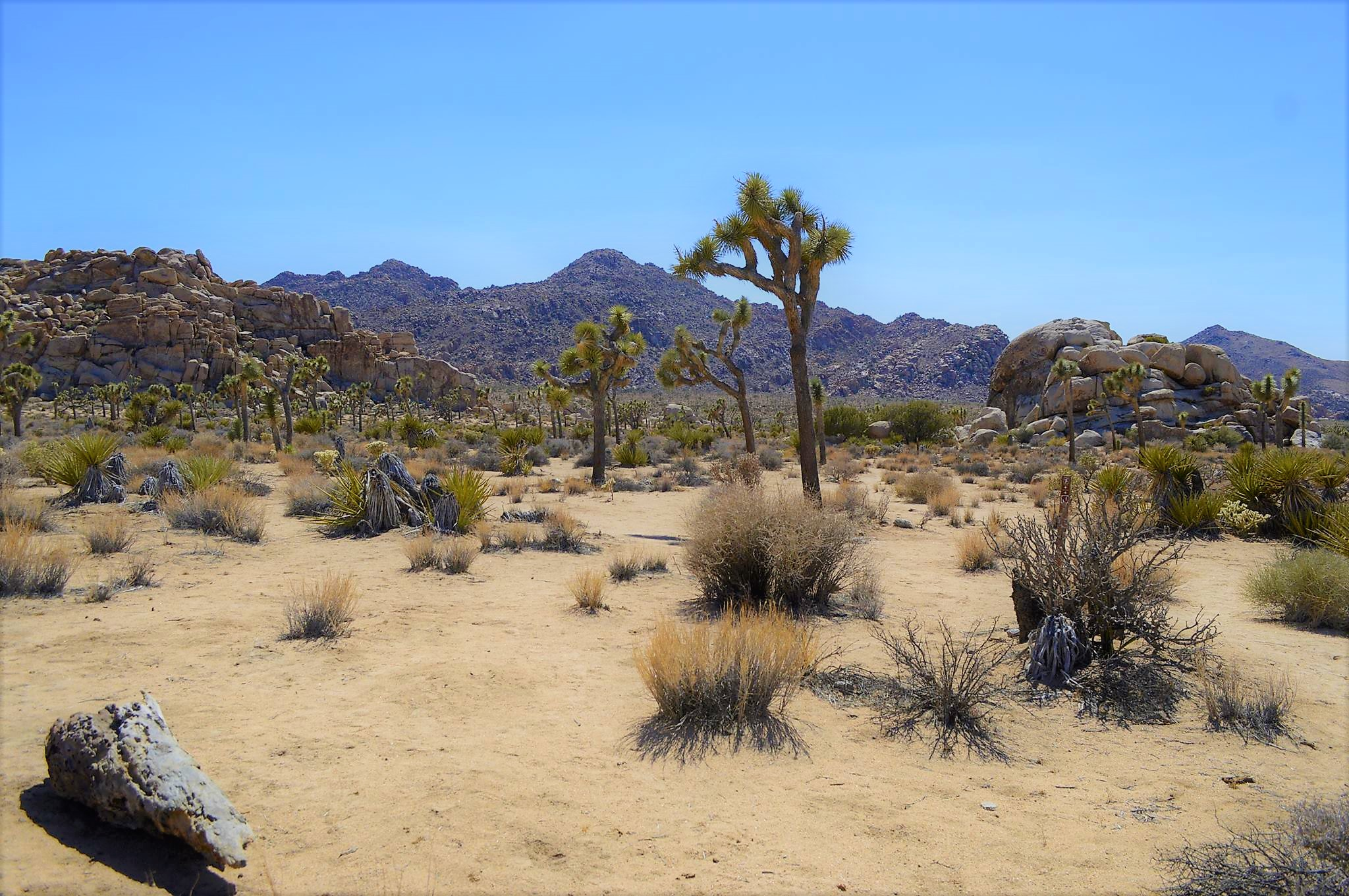 Picture of Joshua Tree National Park USA Road Trip
