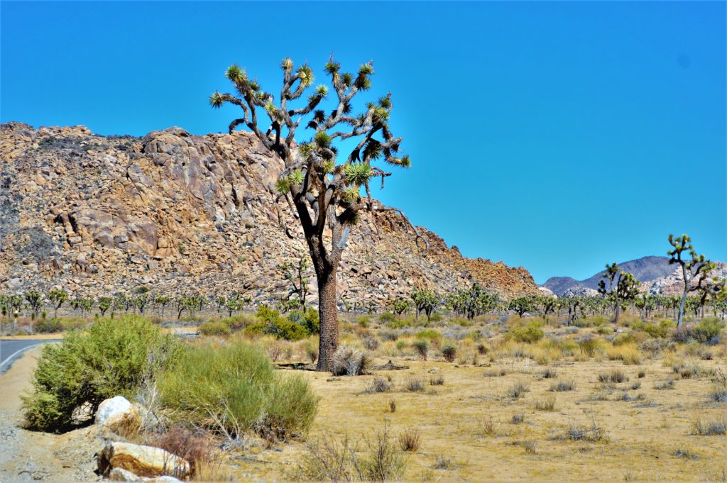 Joshua Yucca trees, California