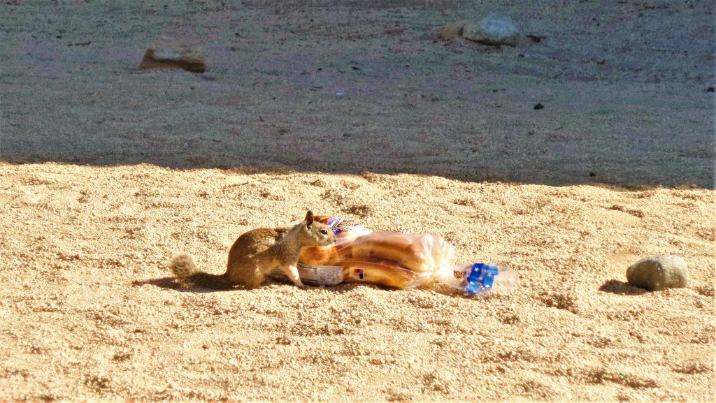 Squirrel at Joshua Tree Campsite, California
