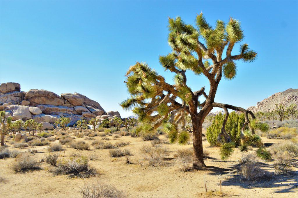 Yucca tree, Joshua Tree National Park, California