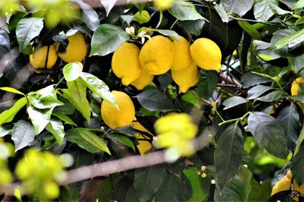 Lemon tree, Rome, Italy