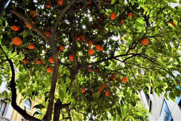 Orange tree, Rome, Italy