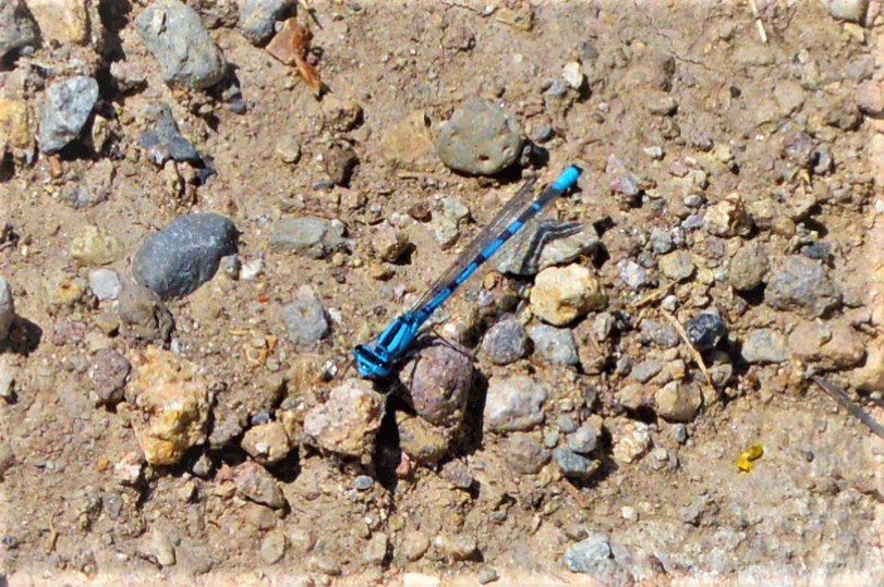Blue dragon fly, Yellowstone National Park, USA