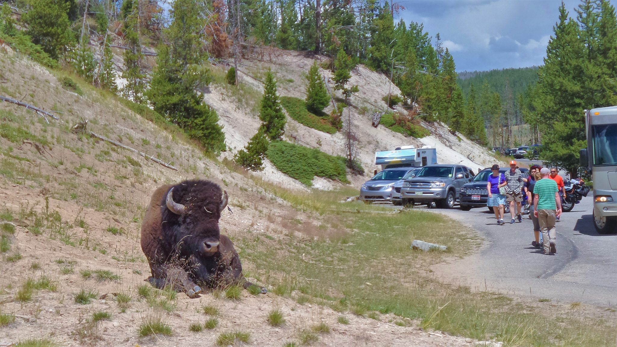 Sleeping Bison, Yellowstone National Park car park USA