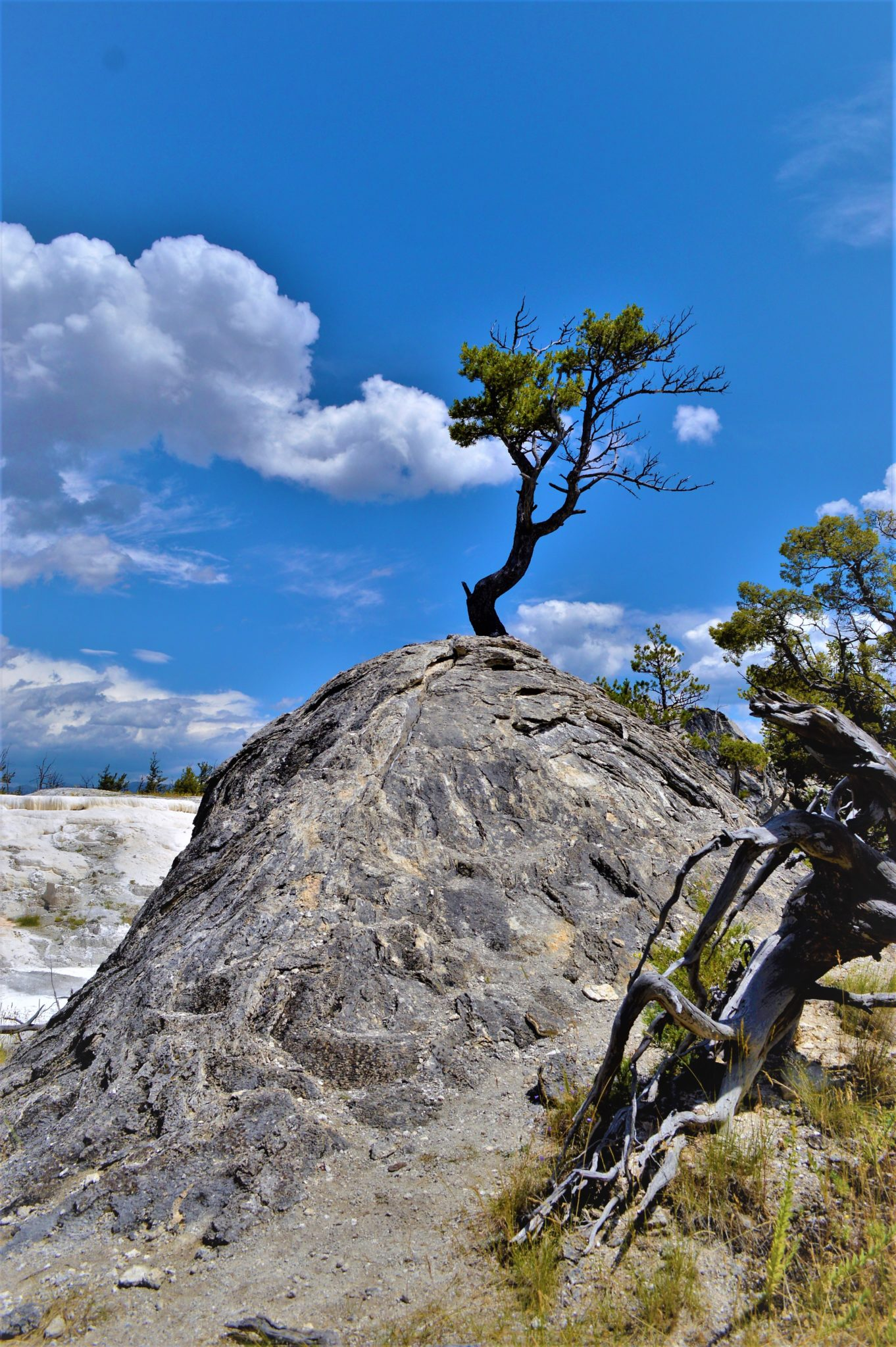 Tree on rock, Yellowstone National Park, Usa