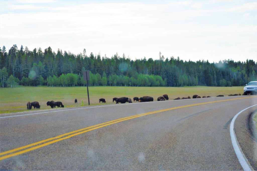 Bison by the road, Grand Canyon North Rim