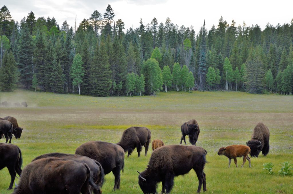 Herd of Bison at Grand Canyon North Rim National Park
