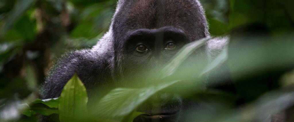 Gorilla Safari Trekking