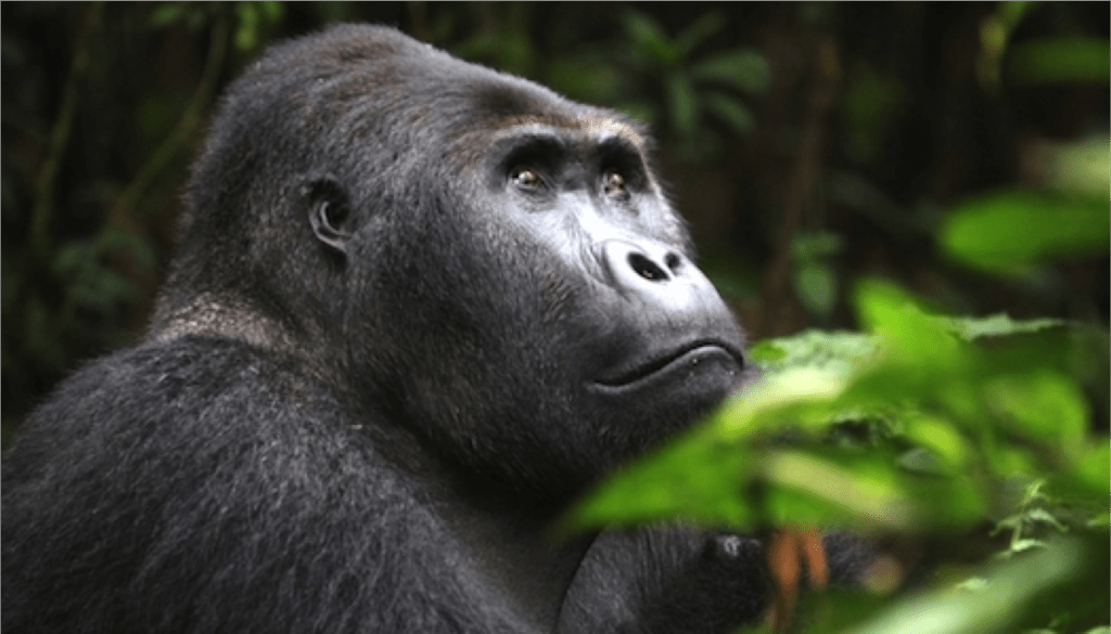 Gorilla Safari Trekking, African safari tour
