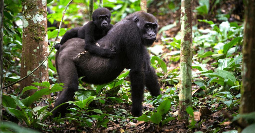 Gorilla Safari Trekking in Uganda