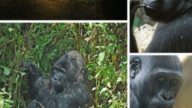 Gorilla trekking in South Africa