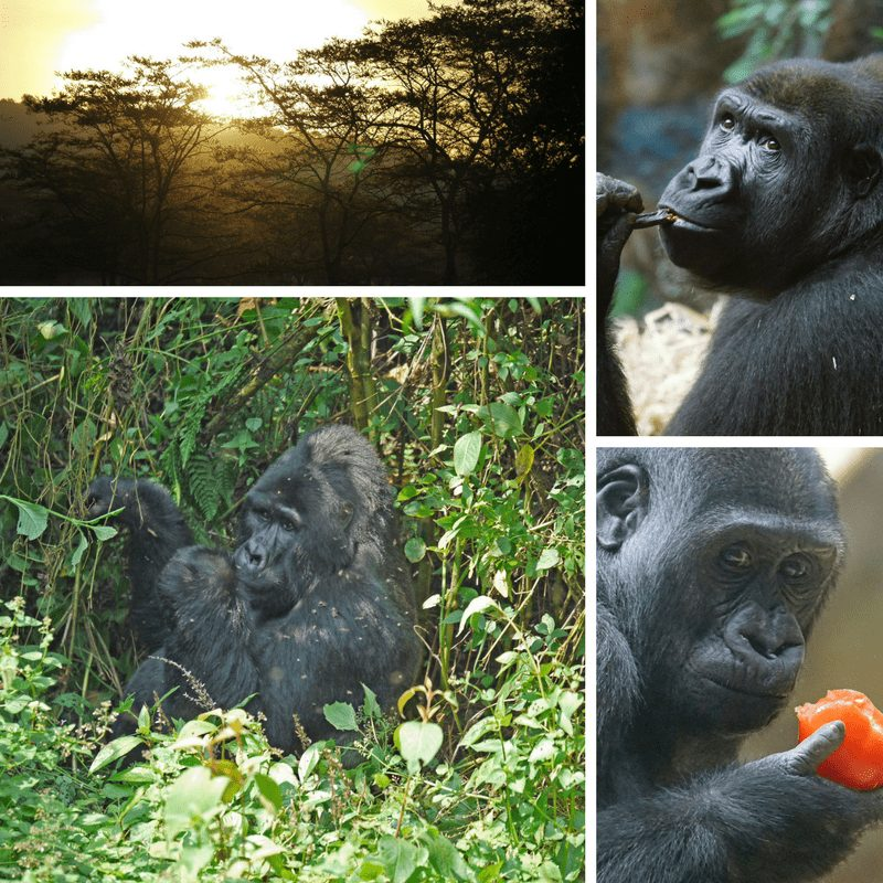 Gorilla safari in South Africa