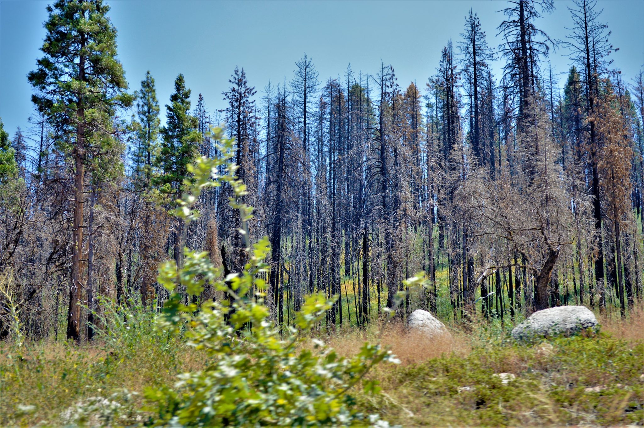 Burnt trees at Yosemite National Park, California