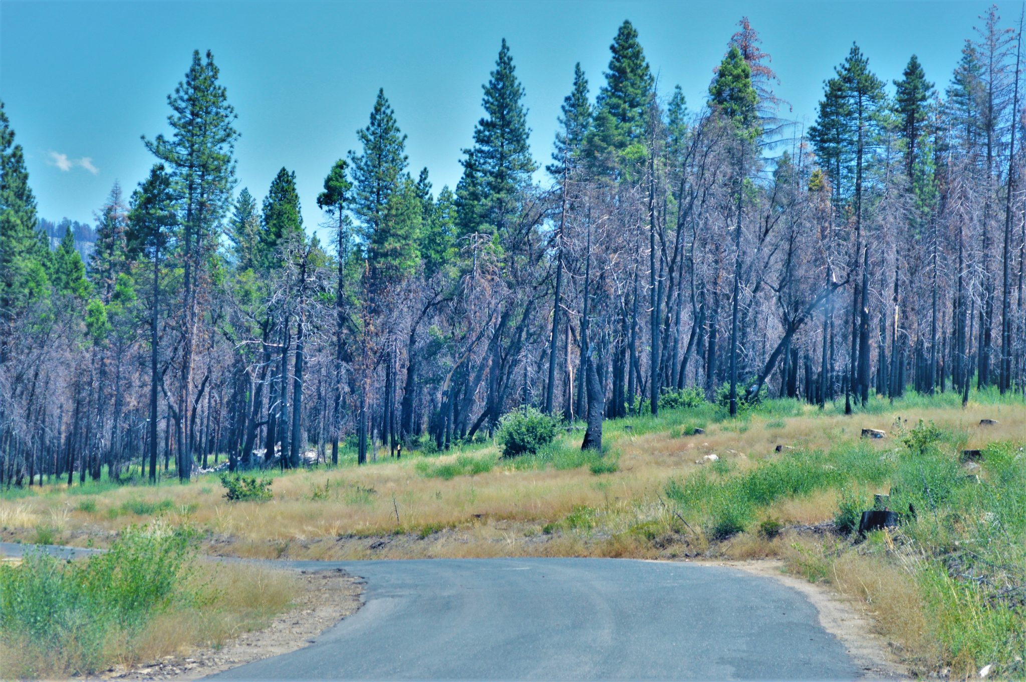 Burnt wild fire trees, Yosemite National Park, California