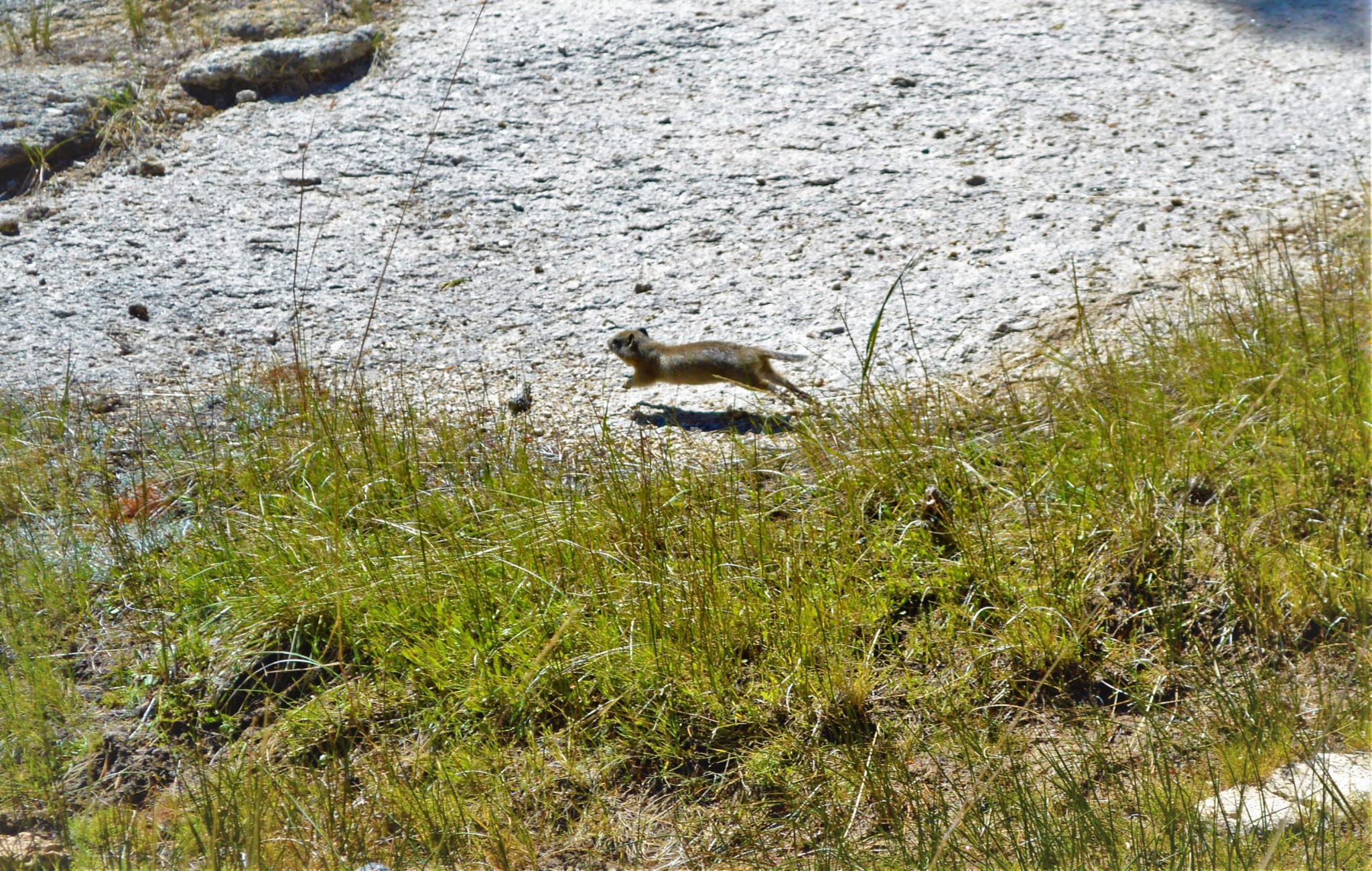 Chipmunk in Yosemite PCT, California