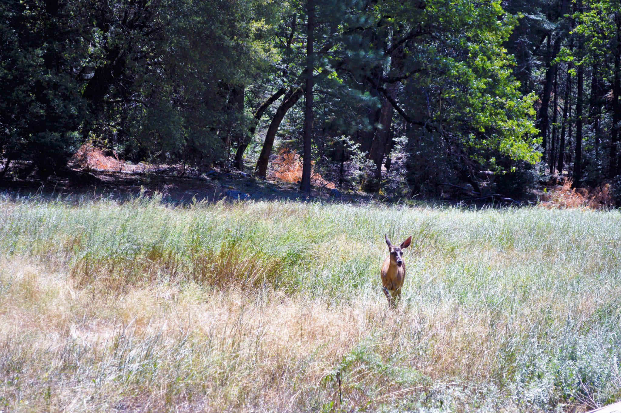 Dear, Yosemite National Park, California