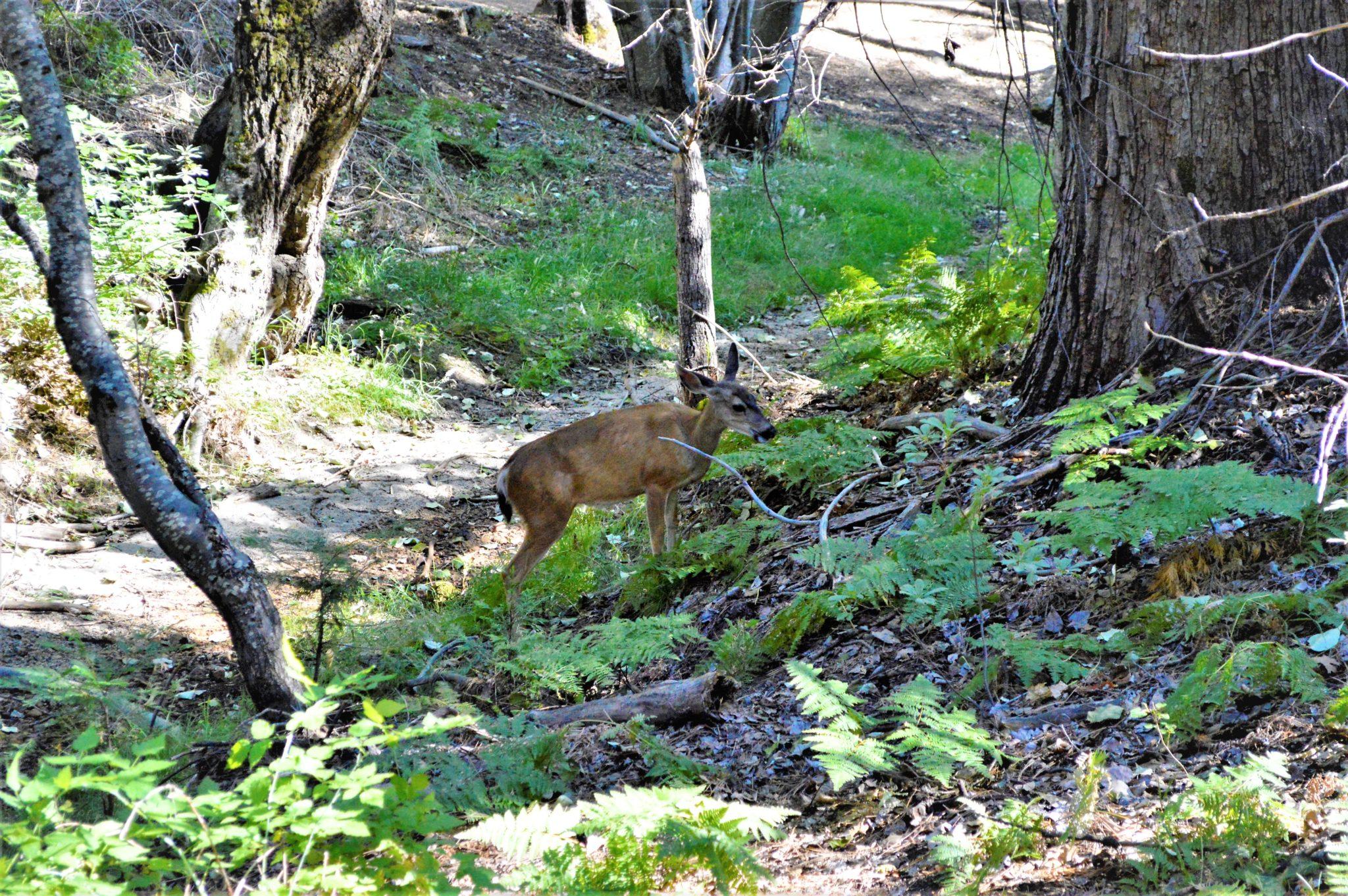 Dear at Yosemite, California, USA
