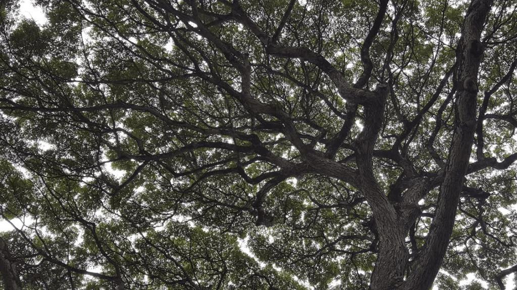 Monkeypod Tree at Waimea Farmer's market in Heiau