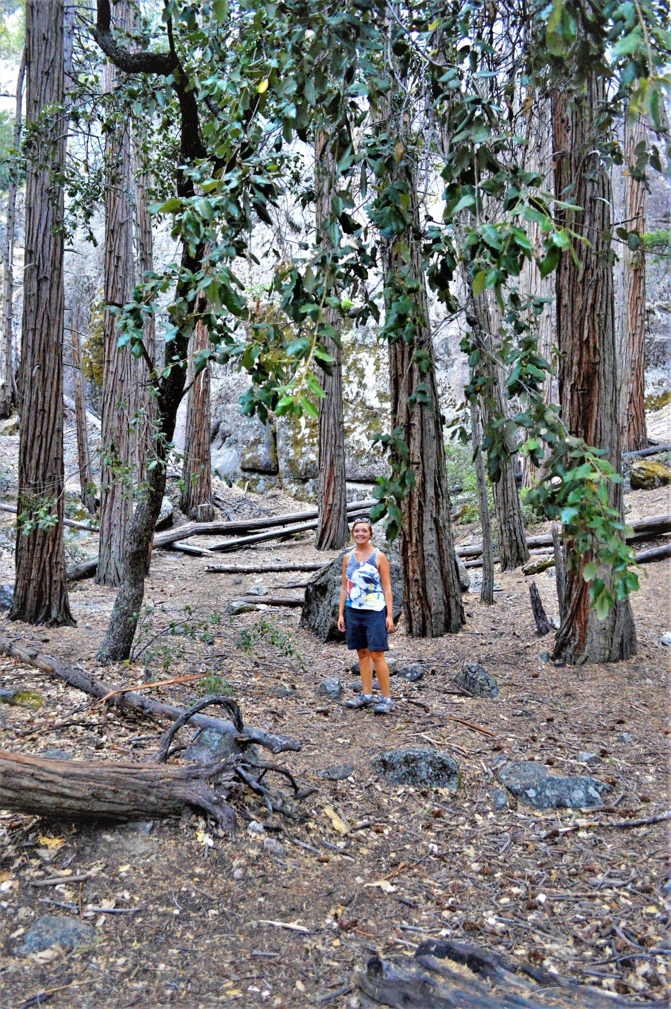 Pine trees, Yosemite Falls, California