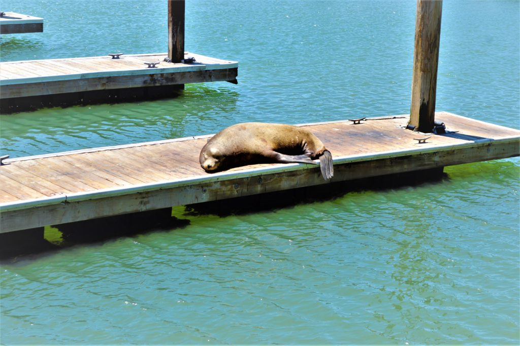 Seal at Pier 39, top things to do in San Francisco, USA