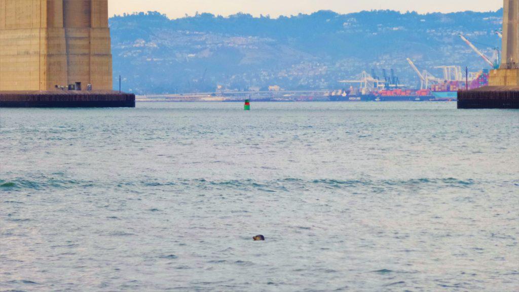 Seal in San Francisco Bay