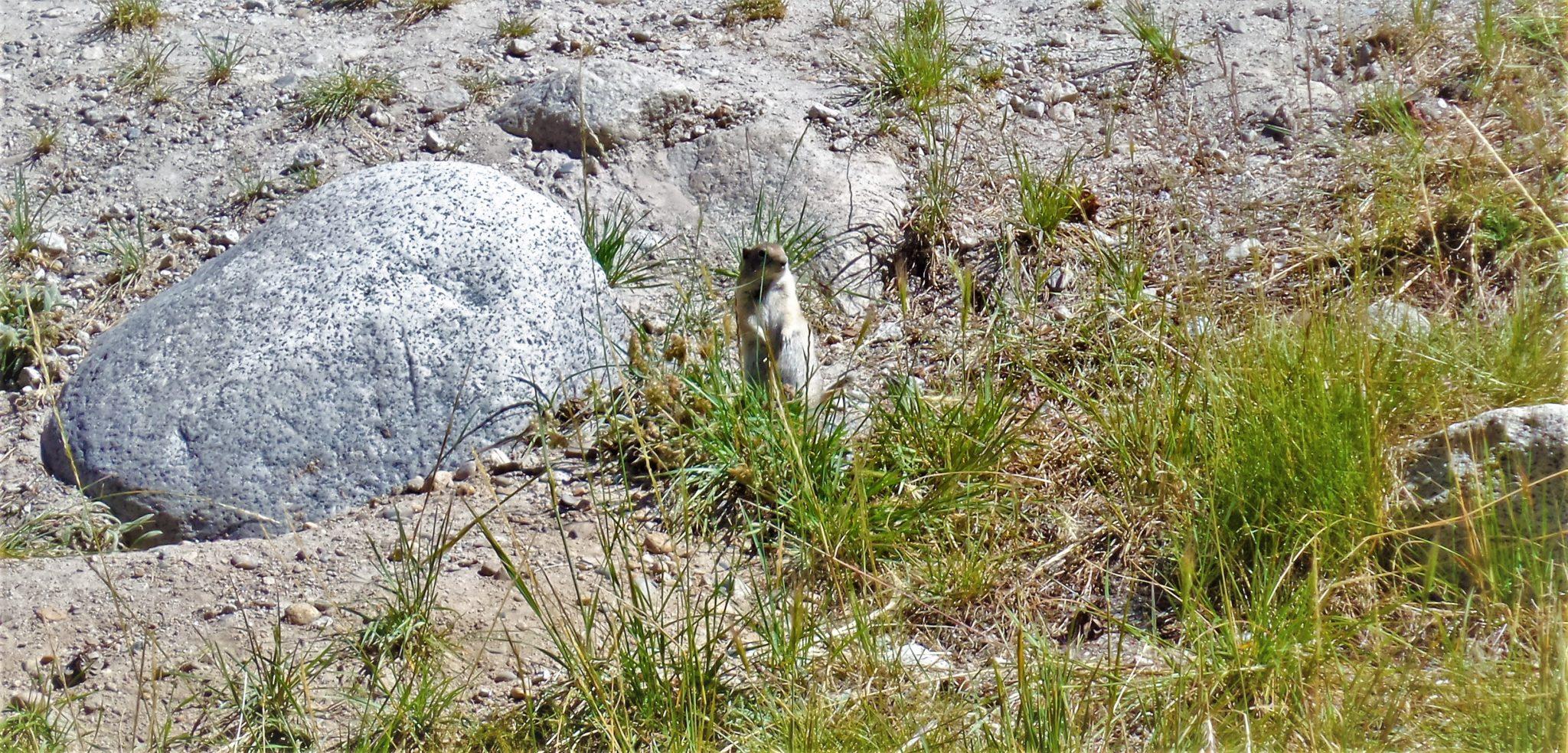 Standing Chipmunk, Yosemite National Park, California