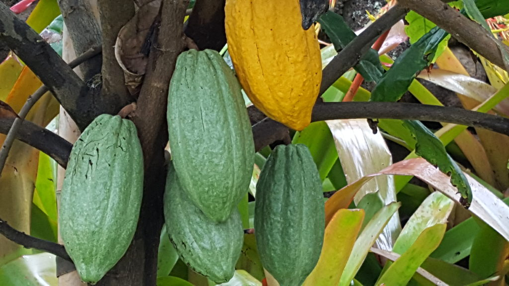 Things to do in Oahu Hawaii, Dole Plantation, Cacao Plant