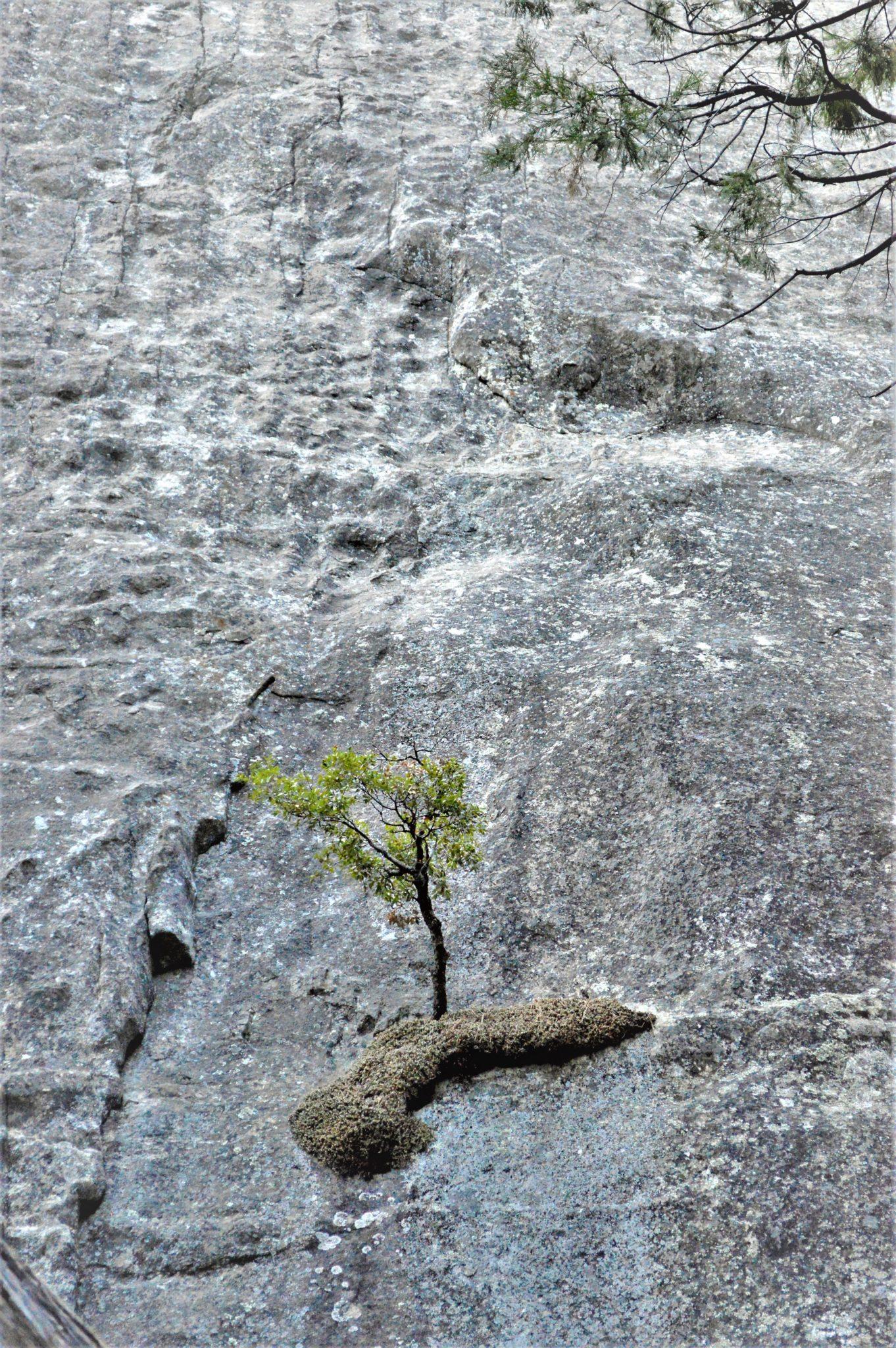 Tree on cliff, Yosemite National Park, California, USA