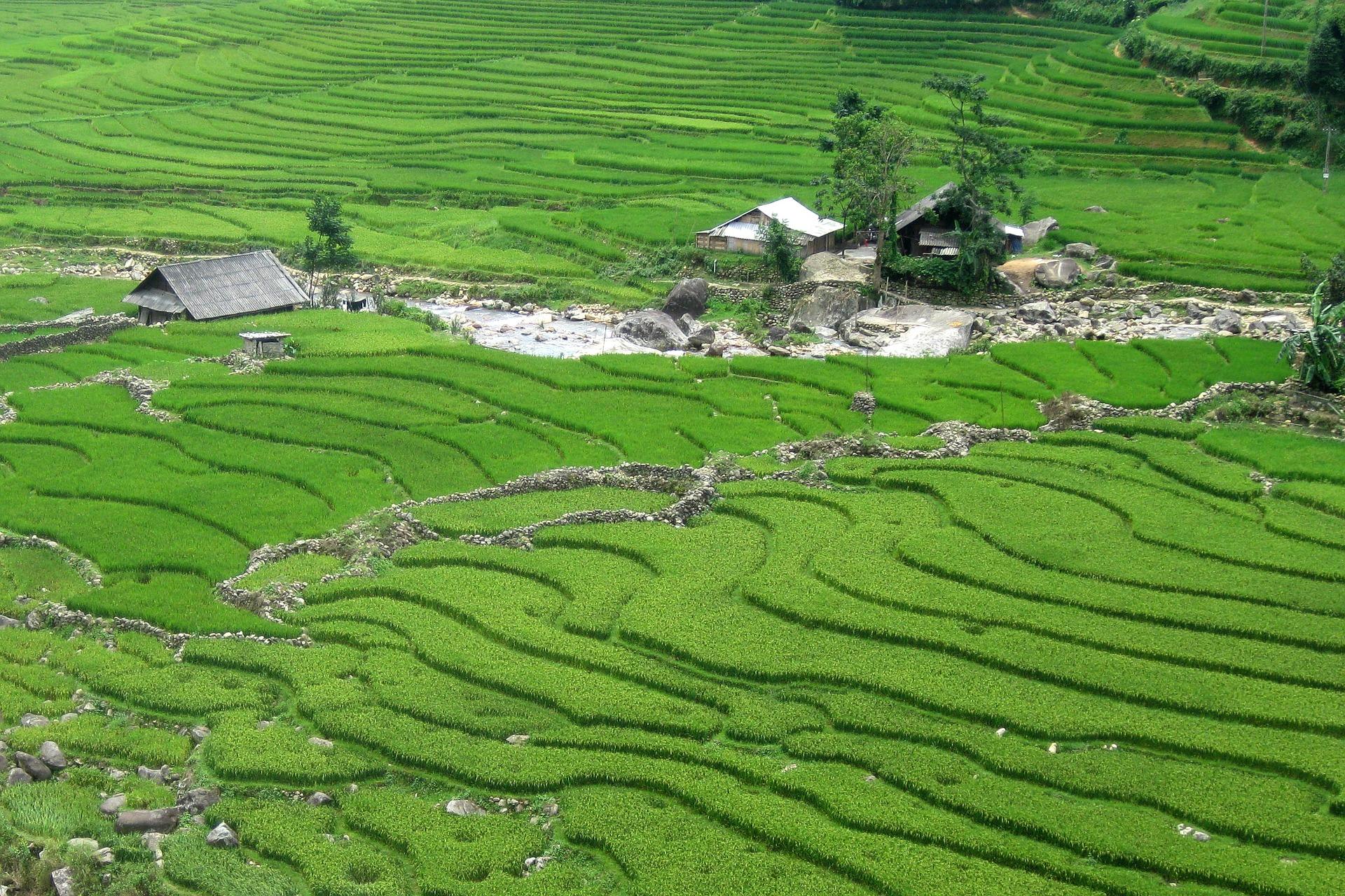 Rice padi, Sapa VIetnam