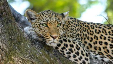Big Cat in Africa